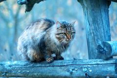 Siberian cat sitting on a fence Stock Image