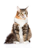 Siberian cat sitting in front. isolated on white background Royalty Free Stock Photography