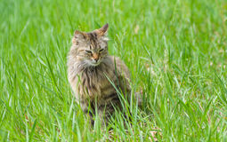Siberian cat sitting in grass Royalty Free Stock Photography