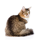 Siberian cat sitting in profile. isolated on white background Stock Photo