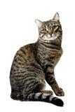 Siberian Cat Stock Photos