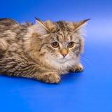 Siberian cat Royalty Free Stock Photos
