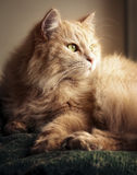 Siberian cat in the sunset light Royalty Free Stock Photography