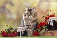Siberian cat Royalty Free Stock Image