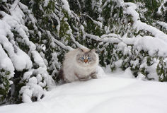 Siberian cat on walk in winter. Siberian Neva Masquerade (colourpoint) a cat on walk in winter wood stock photos