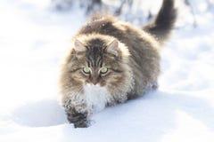 Siberian cat walks in nature in winter,pet going through the snow. Siberian cat walks in nature in a rural yard in winter,pet going through the snow stock photos