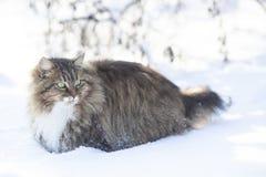 Siberian cat walks in nature in winter,pet going through the snow. Siberian cat walks in nature in a rural yard in winter,pet going through the snow stock photo