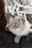 Siberian cat in winter royalty free stock photo