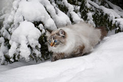 Siberian cat  in winter Royalty Free Stock Photography