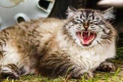 Siberian cat yawns Royalty Free Stock Photo