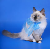 Siberian cats with blue ribbon. Royalty Free Stock Photography