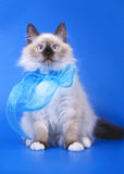 Siberian cats with blue ribbon. Stock Image