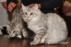 Siberian cats Stock Photos