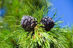 Siberian cedar Stock Photo