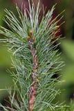 Siberian cedar Stock Image
