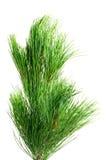 Siberian cedar branch Stock Photos