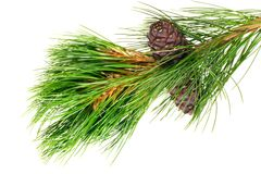 Siberian cedar branch Royalty Free Stock Photo