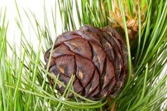 Free Siberian Cedar Branch Royalty Free Stock Image - 3143986