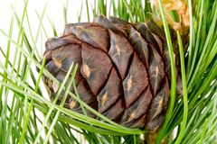 Siberian Cedar Branch And Cone Stock Image