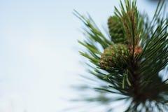 Siberian cedar branch with green cones Stock Photography