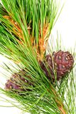 Siberian cedar with cone Royalty Free Stock Photos