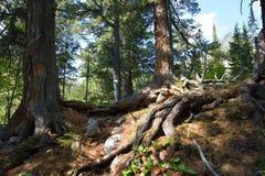 Siberian cedars, mountain taiga Barguzinskaya Royalty Free Stock Photos