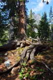 Siberian cedars, mountain taiga Barguzinskaya Royalty Free Stock Image
