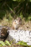 Siberian Chipmunk Stock Photos