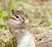 Siberian Chipmunk Royalty Free Stock Photos