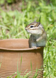 Siberian Chipmunk Royalty Free Stock Photography