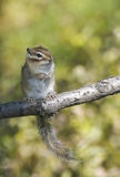 Siberian Chipmunk Stock Photo