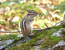 Siberian Chipmunk. Is standing and smiling. Funny. Russian Far East Stock Photography