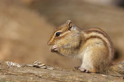 Siberian Chipmunk Stock Images