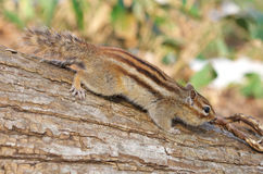 Siberian Chipmunk Royalty Free Stock Images