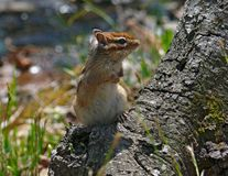 Siberian Chipmunk Royalty Free Stock Image