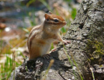 Siberian Chipmunk. A close-up of siberian chipmunk (Tamias sibiricus) on tree. Profile. Russian Far East, Primorye Royalty Free Stock Photos