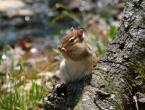 Siberian Chipmunk. A close-up of siberian chipmunk (Tamias sibiricus) washes on tree. Russian Far East, Primorye Royalty Free Stock Photography