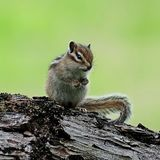 Siberian chipmunk. The chipmunks include 25 species, most of which live in North America, except for one Eurasian specie royalty free stock photo