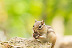 Siberian Chipmunk Stock Photography