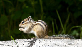 Siberian chipmunk eating on aspen log with grass in background Royalty Free Stock Images