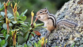 Siberian chipmunk eating rhododendron stock video footage