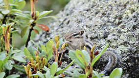 Siberian chipmunk eating rhododendron stock video