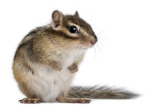 Siberian chipmunk, Euamias sibiricus. In front of white background Royalty Free Stock Image