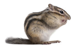 Siberian chipmunk, Euamias sibiricus Stock Photos