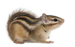 Siberian chipmunk, Euamias sibiricus. In front of white background Royalty Free Stock Photography