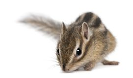 Siberian chipmunk, Euamias sibiricus. In front of white background stock image