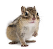 Siberian chipmunk, Euamias sibiricus, sitting Stock Photo