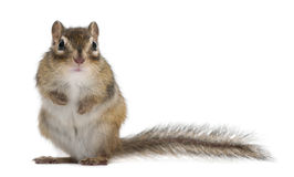 Siberian chipmunk, Euamias sibiricus, standing Royalty Free Stock Photography