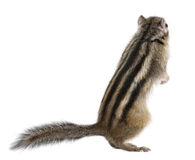 Siberian chipmunk, Euamias sibiricus, standing. In front of white background Stock Photos