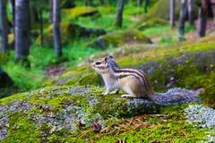 Siberian chipmunk sitting on a mossy stone stock photos